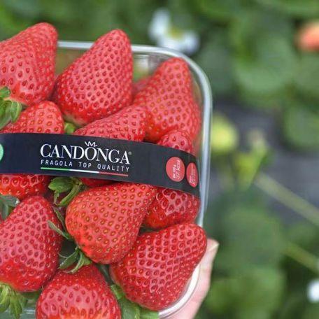 fragole con marchio Candonga Fragola Top Quality