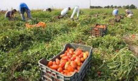 raccolta-pomodoro