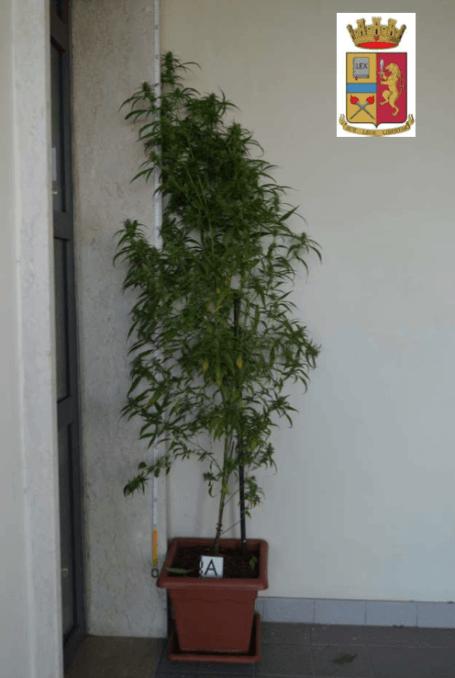 pianta marijiuana