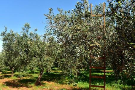 Oliveto (piccola)
